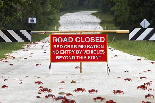 Cấm đường, xây cầu làm lối đi cho hàng triệu con cua di cư - Ảnh 4.