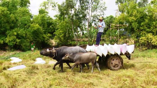 Trâu kéo lúa ở miền Tây giữ lại nét văn hóa nông nghiệp Nam bộ - Ảnh 2.