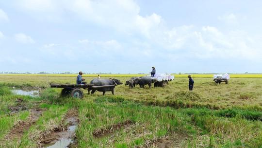 Trâu kéo lúa ở miền Tây giữ lại nét văn hóa nông nghiệp Nam bộ - Ảnh 5.