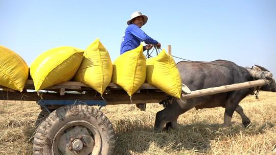 Trâu kéo lúa ở miền Tây giữ lại nét văn hóa nông nghiệp Nam bộ - Ảnh 6.