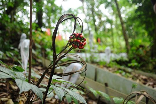 Quảng Nam có điểm du lịch sâm Ngọc Linh độc đáo, hoàn toàn miễn phí - Ảnh 11.