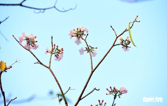 Hoa kèn hồng bung nở sớm, nhuộm tím những góc trời TP HCM - Ảnh 3.