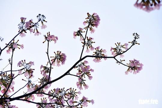 Hoa kèn hồng bung nở sớm, nhuộm tím những góc trời TP HCM - Ảnh 7.