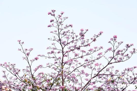 Hoa kèn hồng bung nở sớm, nhuộm tím những góc trời TP HCM - Ảnh 9.