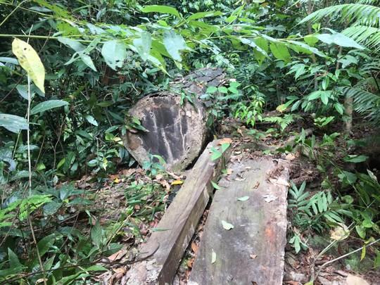 Cận cảnh khu rừng gỗ quý ở Quảng Bình bị lâm tặc chặt phá tan hoang - Ảnh 4.