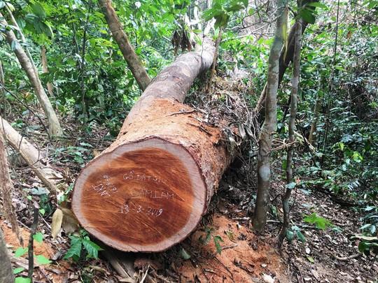 Cận cảnh khu rừng gỗ quý ở Quảng Bình bị lâm tặc chặt phá tan hoang - Ảnh 6.