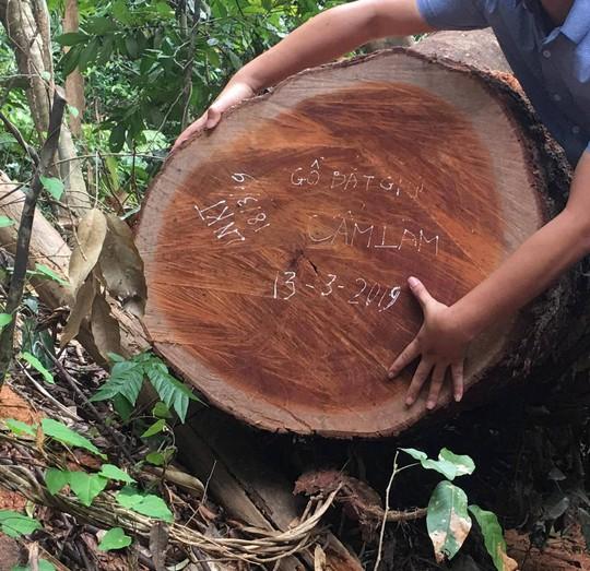 Cận cảnh khu rừng gỗ quý ở Quảng Bình bị lâm tặc chặt phá tan hoang - Ảnh 9.