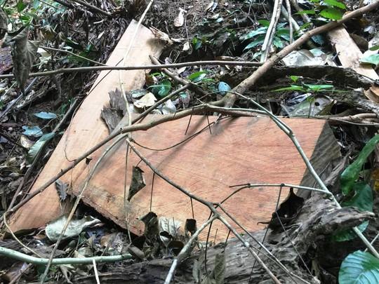 Cận cảnh khu rừng gỗ quý ở Quảng Bình bị lâm tặc chặt phá tan hoang - Ảnh 10.