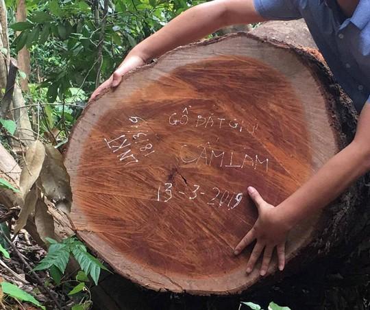 Cách chức, kỷ luật hàng loạt cán bộ vì để lâm tặc phá rừng gỗ quý - Ảnh 2.