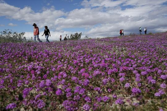 Choáng ngợp hoa dại nở rộ trên sa mạc California - Ảnh 4.