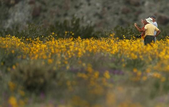 Choáng ngợp hoa dại nở rộ trên sa mạc California - Ảnh 2.