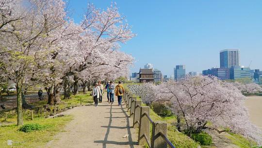 Thành cổ hơn 400 năm ở Nhật ngập trong sắc hoa anh đào - Ảnh 2.