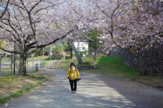 Thành cổ hơn 400 năm ở Nhật ngập trong sắc hoa anh đào - Ảnh 6.