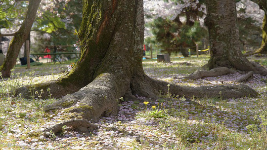 Thành cổ hơn 400 năm ở Nhật ngập trong sắc hoa anh đào - Ảnh 7.