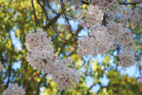 Thành cổ hơn 400 năm ở Nhật ngập trong sắc hoa anh đào - Ảnh 9.