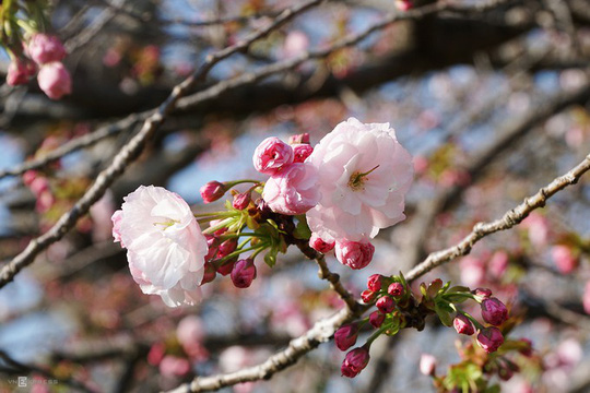 Thành cổ hơn 400 năm ở Nhật ngập trong sắc hoa anh đào - Ảnh 10.
