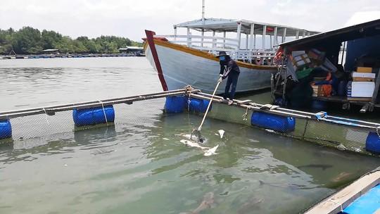CLIP: Hàng chục tấn cá bớp loại 3-5kg/con phơi bụng ở TP Vũng Tàu - Ảnh 4.