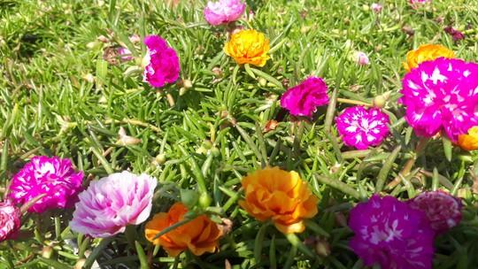 """Lạ đời hoa mười giờ nở hoa cả ngày không """"ngủ"""" - Ảnh 1."""