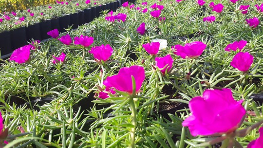 """Lạ đời hoa mười giờ nở hoa cả ngày không """"ngủ"""" - Ảnh 5."""
