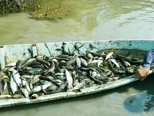 Ngợp với cảnh mỏi tay vớt cá dạt vào bờ ở Cà Mau, Bạc Liêu - Ảnh 10.