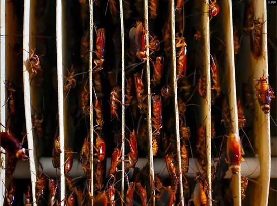 Mục sở thị trang trại nuôi hàng triệu con gián làm mồi nhậu - Ảnh 4.