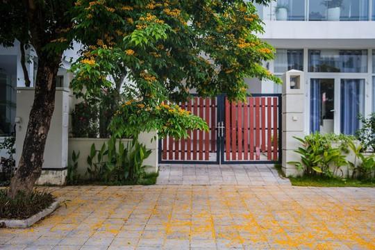 Rực rỡ sắc vàng giáng hương trên phố biển Sầm Sơn - Ảnh 6.
