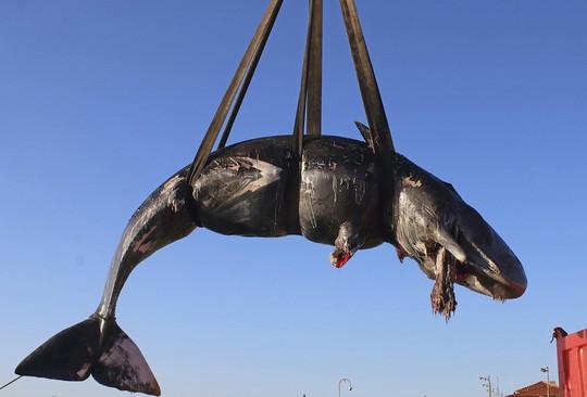 Clip: Cá nhà táng mang thai chết với 22 kg rác nhựa trong bụng - Ảnh 2.