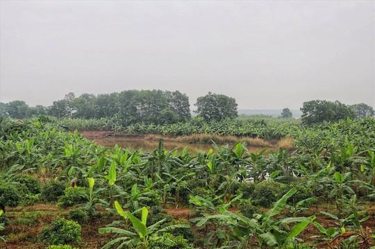 Lá chuối thay nilon, người dân kiếm bạc triệu từ nghề chặt lá chuối - Ảnh 1.
