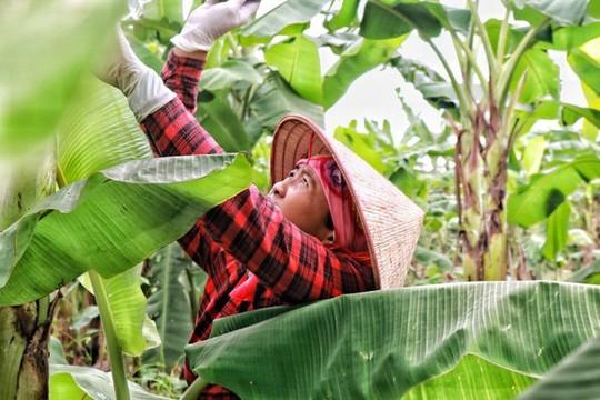 Lá chuối thay nilon, người dân kiếm bạc triệu từ nghề chặt lá chuối - Ảnh 2.