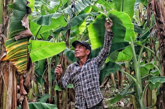 Lá chuối thay nilon, người dân kiếm bạc triệu từ nghề chặt lá chuối - Ảnh 7.