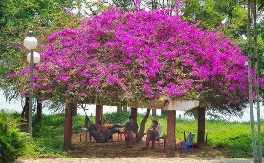 Những loài hoa khoe sắc trong nắng hạ ở Huế - Ảnh 7.