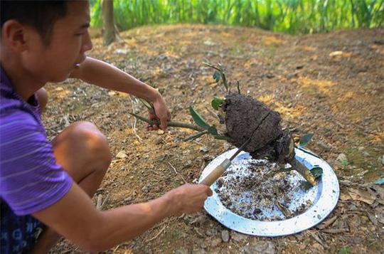 Săn trứng kiến làm món ăn đặc sản ở ngoại thành Hà Nội - Ảnh 4.