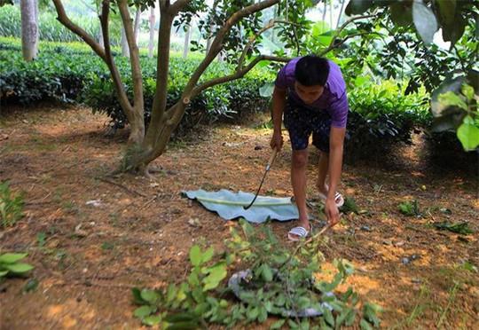 Săn trứng kiến làm món ăn đặc sản ở ngoại thành Hà Nội - Ảnh 5.