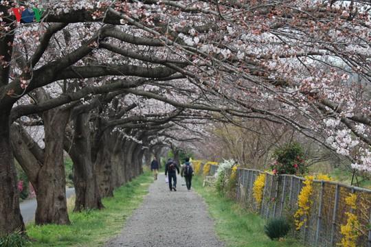 Ngắm con đường hoa anh đào dài nhất thế giới tại Nhật Bản - Ảnh 1.