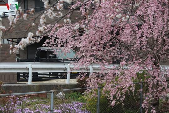 Ngắm con đường hoa anh đào dài nhất thế giới tại Nhật Bản - Ảnh 2.