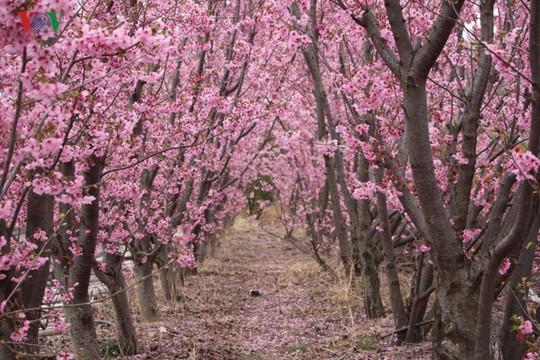 Ngắm con đường hoa anh đào dài nhất thế giới tại Nhật Bản - Ảnh 17.