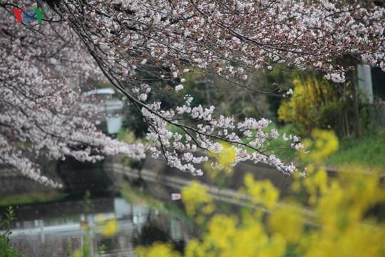 Ngắm con đường hoa anh đào dài nhất thế giới tại Nhật Bản - Ảnh 12.