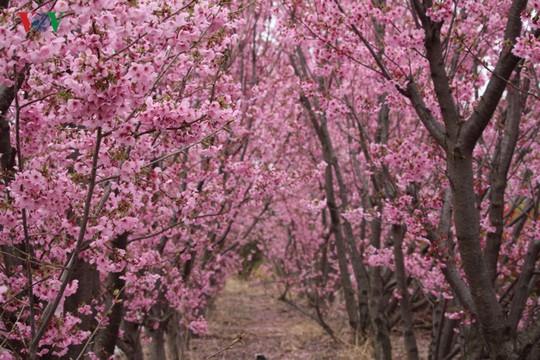 Ngắm con đường hoa anh đào dài nhất thế giới tại Nhật Bản - Ảnh 14.