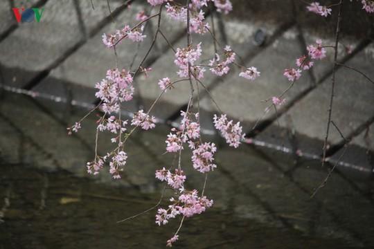 Ngắm con đường hoa anh đào dài nhất thế giới tại Nhật Bản - Ảnh 19.