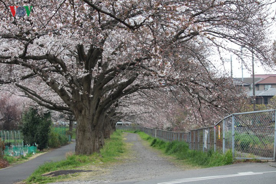 Ngắm con đường hoa anh đào dài nhất thế giới tại Nhật Bản - Ảnh 20.