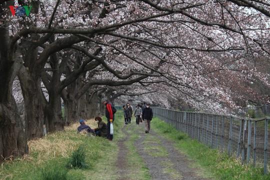 Ngắm con đường hoa anh đào dài nhất thế giới tại Nhật Bản - Ảnh 3.