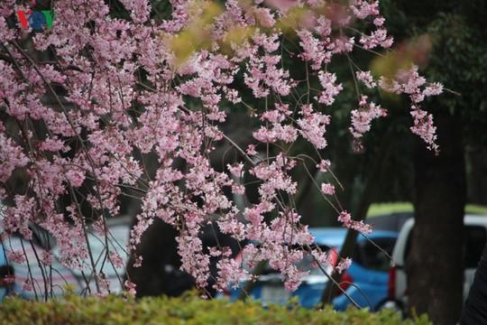 Ngắm con đường hoa anh đào dài nhất thế giới tại Nhật Bản - Ảnh 4.