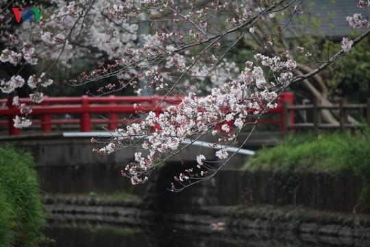 Ngắm con đường hoa anh đào dài nhất thế giới tại Nhật Bản - Ảnh 5.