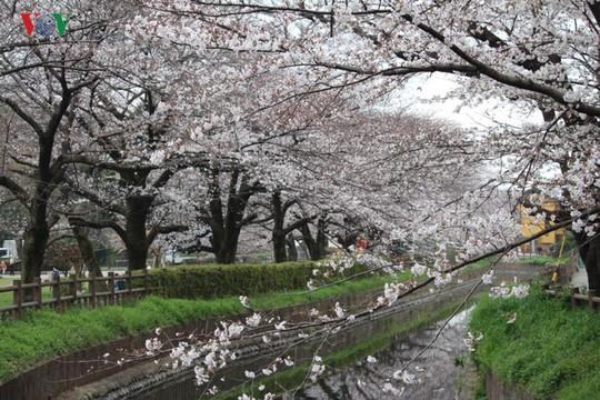 Ngắm con đường hoa anh đào dài nhất thế giới tại Nhật Bản - Ảnh 6.