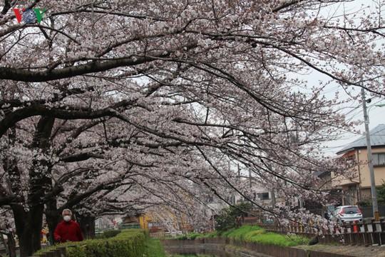 Ngắm con đường hoa anh đào dài nhất thế giới tại Nhật Bản - Ảnh 7.
