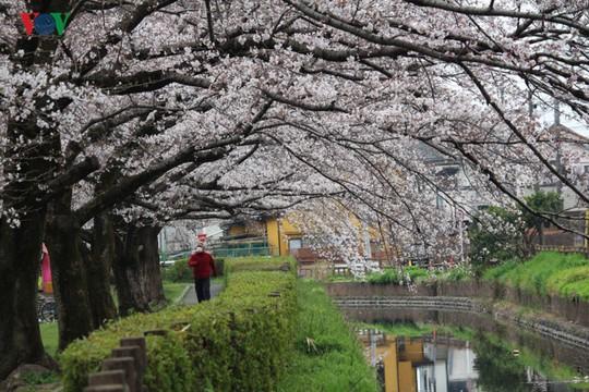 Ngắm con đường hoa anh đào dài nhất thế giới tại Nhật Bản - Ảnh 8.