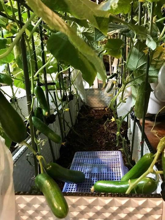 Gia đình ở TP HCM bị nhầm là trồng rau đột biến vì quá tốt - Ảnh 11.