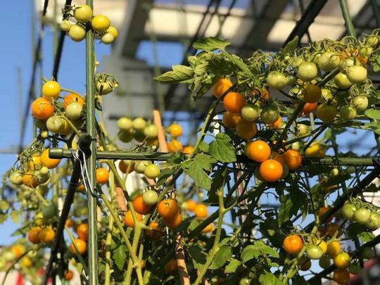 Gia đình ở TP HCM bị nhầm là trồng rau đột biến vì quá tốt - Ảnh 10.