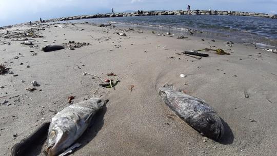 Cá chết hàng loạt dạt vào bờ trên bãi biển Đà Nẵng - Ảnh 4.