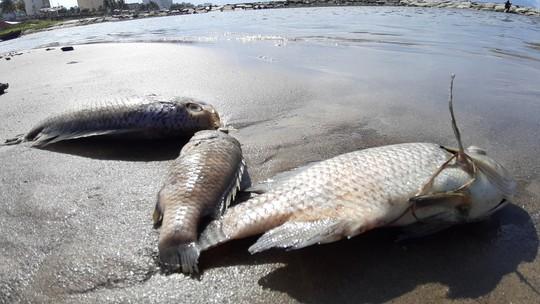 Cá chết hàng loạt dạt vào bờ trên bãi biển Đà Nẵng - ảnh 1